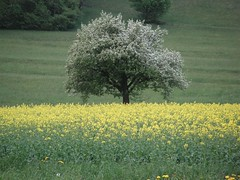 Raps und Obstbaum