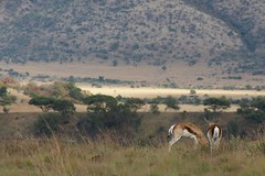 Springbok in Pilanesberg park, South Africa (klaash63) Tags: africa southafrica photographer sony alfa afrika 700 lanscape springbok landschap fotograaf heiligenberg zuidafrika a700 supershot klaasheiligenberg oilanesberg