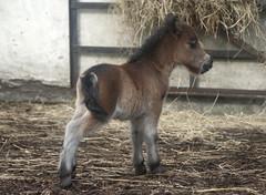 Tiny little Shetland Foal (Jennythewren) Tags: horse baby cute mother pony shetland foal