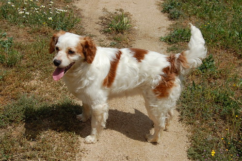 brittany spaniel poodle mix
