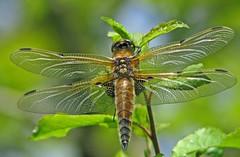 Dragonfly......... (Deeryme) Tags: dragonfly farm fourspottedchaser ar1 15challengeswinner