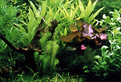 Planted Dutch aquarium (Foto Martien (thanks for over 2.000.000 views)) Tags: plants holland netherlands colors dutch aquarium colorful tank nederland slide dia scan analogue planten waterplants dutchaquarium kleurrijk kleuren analoog freshwateraquarium minolta9000 homeaquarium waterplanten aplusphoto scanedpicture privateaquarium martienuiterweerd martienarnhem hollandaquarium plantedhollandaquarium hollandsplantenaquarium hollandsaquarium thuisaquarium planteddutchaquarium nederlandsplantenaquarium nederlandsaquarium gezelschapsaquarium zoetwateraquarium privaquarium hollndischepflanzenaquarium plantesaquariumdehollande aquariumhollandais