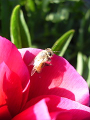 bee on peony (laughingoysterbabies popping in and out ~**) Tags: flower peony bee