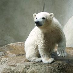 "This is Walker the little polar bear in the Zoo ""Ouwehands Dierenpark"" Rhenen The Netherlands - REPOST (Cajaflez) Tags: zoo explore polarbear walker ijsbeer rhenen ouwehand bej photosandcale"