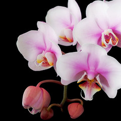 Orchid 02 (nene-aneON - OFF)) Tags: pink black flower fa onblack flowerotica alwaysexc