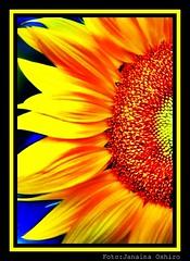 Sunflower... (♫ Photography Janaina Oshiro ♫) Tags: naturaleza flower macro nature digital nikon natureza sunflower japão girassol d90