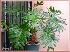 Philodendron bipinnatifidum (Cut-Leaf/Split-Leaf Philodendron, Tree Philodendron, Selloum), in our garden May 2009
