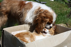 arrghh doggy kisses... (Bogart Cat) Tags: gingercat oadby kingcharlescavalier ramsbottomcat