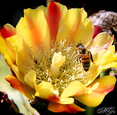 The Pollenator (Marcie Gonzalez) Tags: california park lighting ca old flowers light red cactus plants plant flower color macro history nature colors beautiful up yellow gardens closeup cacti canon wonderful garden insect buzz botanical photography daylight fly flying petals succulent san colorful soft pretty day close desert bright bees large parks diego center visit location petal bee southern destination historical gonzalez lovely yellows macros balboa visiting reds brightness deserts succulents marcie balboapark botanicals balboaparksandiego marciegonzalez marciegonzalezphotography