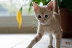 chaton (Jean-Philippe Caruana) Tags: cute cat kitten chat canonef50mmf18 mignon chaton eos400d
