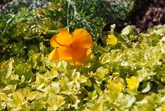 DSC_0678 (lexwells) Tags: poppy californianpoppy