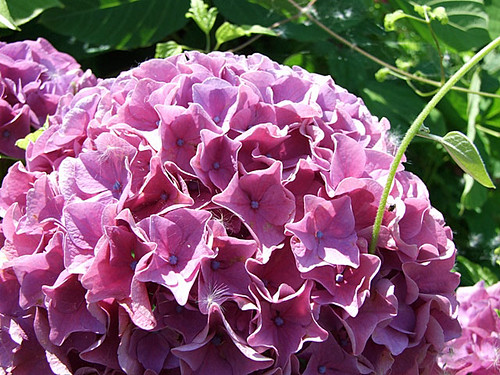 紫陽花(アジサイ)~笹川流れ