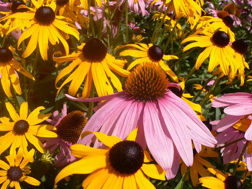 Colors (Coneflowers and Black Eyed Susans)