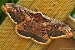 118 / 365 Saturnia pyri ( Mago G ) Tags: canon eos lepidoptera 7d 365 saturniapyri eos7d saturniadelpero gottardiclaudio lenssigma180mm
