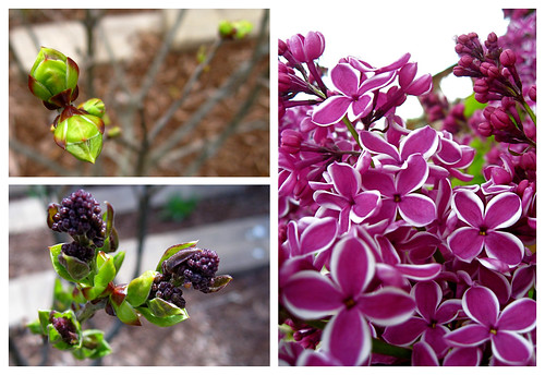 Sensation Lilac composite