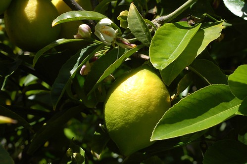 A ripening Meyer lemon on our tree by Eve Fox, Garden of Eating blog