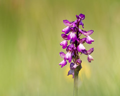 Green Winged Orchid ( thanks Tony ) (Andrew Haynes Wildlife Images) Tags: plant orchid flower rugby meadows warwickshire sssi draycotemeadows canon7d ajh2008