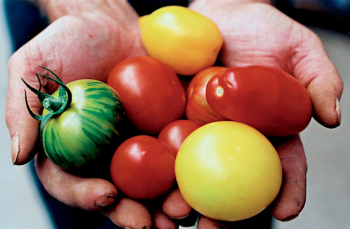 Tomatoes on hands