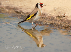 JILGUERO (Carduelis carduelis) / Goldfinch (Jose Angel Rodriguez) Tags: bird birds fauna libertad agua goldfinch aves hide ave reflejo pajaro baza bebiendo cantora colorin cardueliscarduelis jilguero sierradebaza parquenaturalsierradebaza silvestrismo joseangelrodriguez