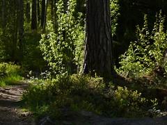 (evisdotter) Tags: wood trees light path skog stig trd mariehamn land