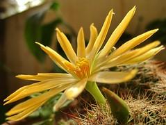 Beautiful Bloom (Kumaravel) Tags: cactus flower macro canon ixus bloom chennai kumaravel 95is canonixus95is canondigitalixus95is jayascactuscollection jayasgarden