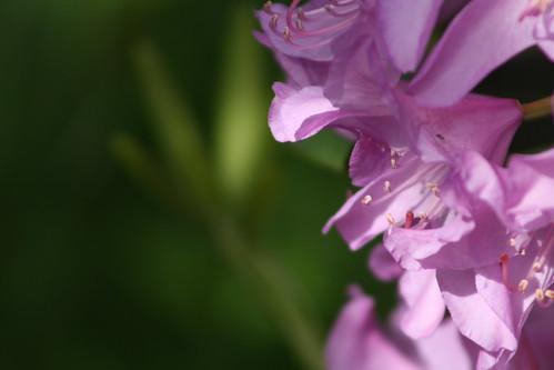 rhodedendron
