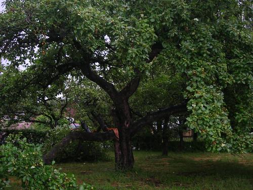 Grüner Boskop mit Sturmschaden
