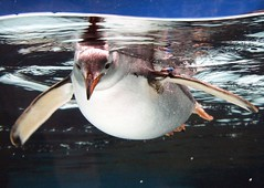 Gentoo Penguin (photographerglen) Tags: cute bird water animal swimming canon zoo penguin gentoo marine funny underwater floating australia victoria 100views 200views aquaruim popular antartica artic 50views melbourneaquarium 100comments 50comments 150comments 25favorite