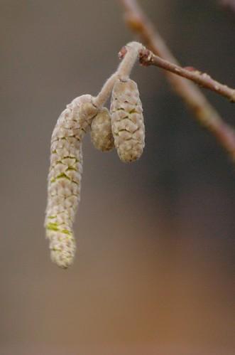 Hazelaar (Corylus avellana) - belofte van lente... en hooikoorts