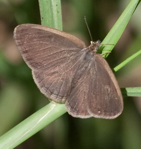 Carolina Satyr basking