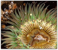 Creature From the Deep (Mimi Ditchie) Tags: anemone lowtide shellbeach seaanemone pictureperfect supershot mywinners