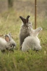 "english angora kits in playpen ""on watch duty"" (ixchelbunny) Tags: bunnies english rabbits angora ixchel"