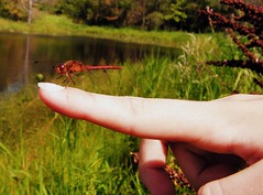 red dragonfly (Jenna Walmer) Tags: life shadow lake black out pond eyes alone doors hand legs bright dragonfly sweet walk finger nail where stump