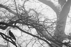 Raven on tree (Al Fed) Tags: deleteme5 winter deleteme8 bw snow deleteme deleteme2 tree deleteme3 deleteme4 deleteme6 bird deleteme9 deleteme7 fog saveme4 saveme5 saveme saveme2 saveme3 deleteme10 branches gray fading raven 20090118