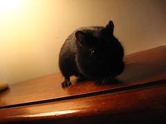 Mysterious (Funnybuggyme) Tags: gerbil watching posing blackgerbil