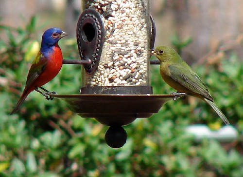 Mr. and Mrs. Painted Bunting