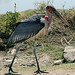 Marabou stork looking for food