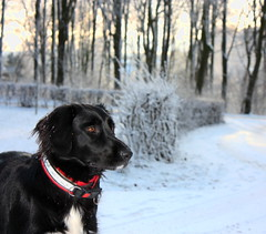 Snowqueen Frida (tine krogh) Tags: schnee winter dog snow cold dogs vinter gimp hund kalt tine hunde sne krogh koldt beautifulexpression anawesomeshot canoneos450d naturemasterclass digetalslr
