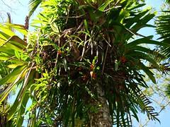 Maxillaria coccinea (tropicalgardener1) Tags: forest puerto rico guavate carite 22209