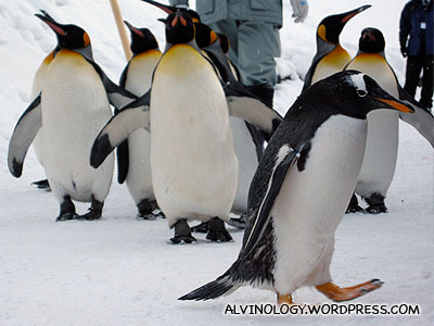 A naughty Gentoo Penguin straying from the formation