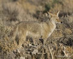 Wyle E. Coyote (Pearlshots) Tags: california coyote desert ridgecrest naturescall kerncountyphotographers highdesertdigital kernphotographyassociation ronpearl