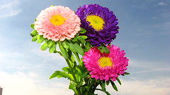 Chrysanthemum Series (Gumz II) Tags: pink flowers sky cloud flores verde green clouds purple saopaulo rosa sampa nuvens nuvem crisantemo ceu roxo