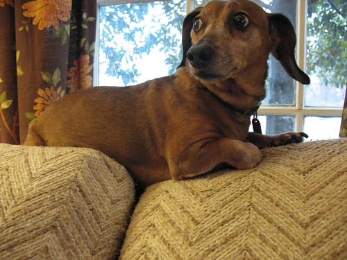 Dachshund on Couch