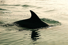 (Vahid.Hm) Tags: sea animal swim d50 persian nikon gulf iran dolphin vahid qeshm gheshm hormozgan nikkor18105vr upcoming:event=2112901 warmedited