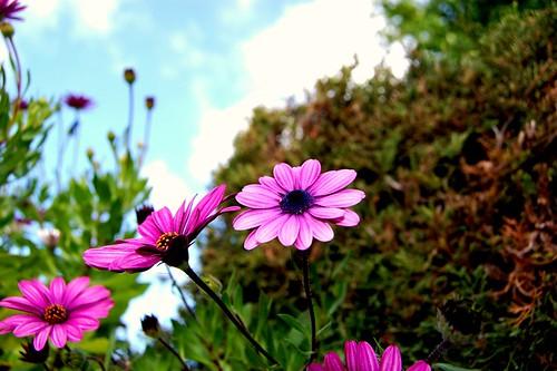 purple_daisy_type_flower