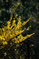 Have A Sunny Spring Weekend !!! (AnyMotion) Tags: flowers plants floral colors yellow garden spring colours frankfurt natur blumen gelb forsythia garten 2009 fa farben forsythie anymotion platinumphoto goldglckchen canoneos5dmarkii 5d2
