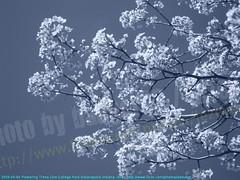 2009-04-04 Flowering Trees One-College Park Indianapolis Indiana -346 (Badger 23 / jezevec) Tags: blue trees flower tree fleur forest whiteflower log bradford timber flor tr boom rbol pear p   blume ornamental fiore albero arbre rvore 2009 strom baum trd puno collegepark bloem  pyrus koks   drzewo    jezevec  mti kvt arbore callery pyruscalleryana calleryana vbr    wabigon badger23 decidouous 20090404 onecollegepark