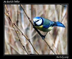 Msange (BerColly) Tags: france birds allier auvergne oiseaux puydedme dallet