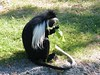 dhh bq (dmathew1) Tags: tampa florida lowryparkzoo babywhitetiger babymandrill babyorangatun babycolobusmonkey babyguenon