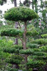 DSC_6649 (tehbizz) Tags: teaceremony morikami sadotea